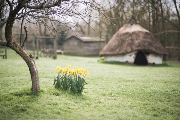 DUN_Daffodils-1