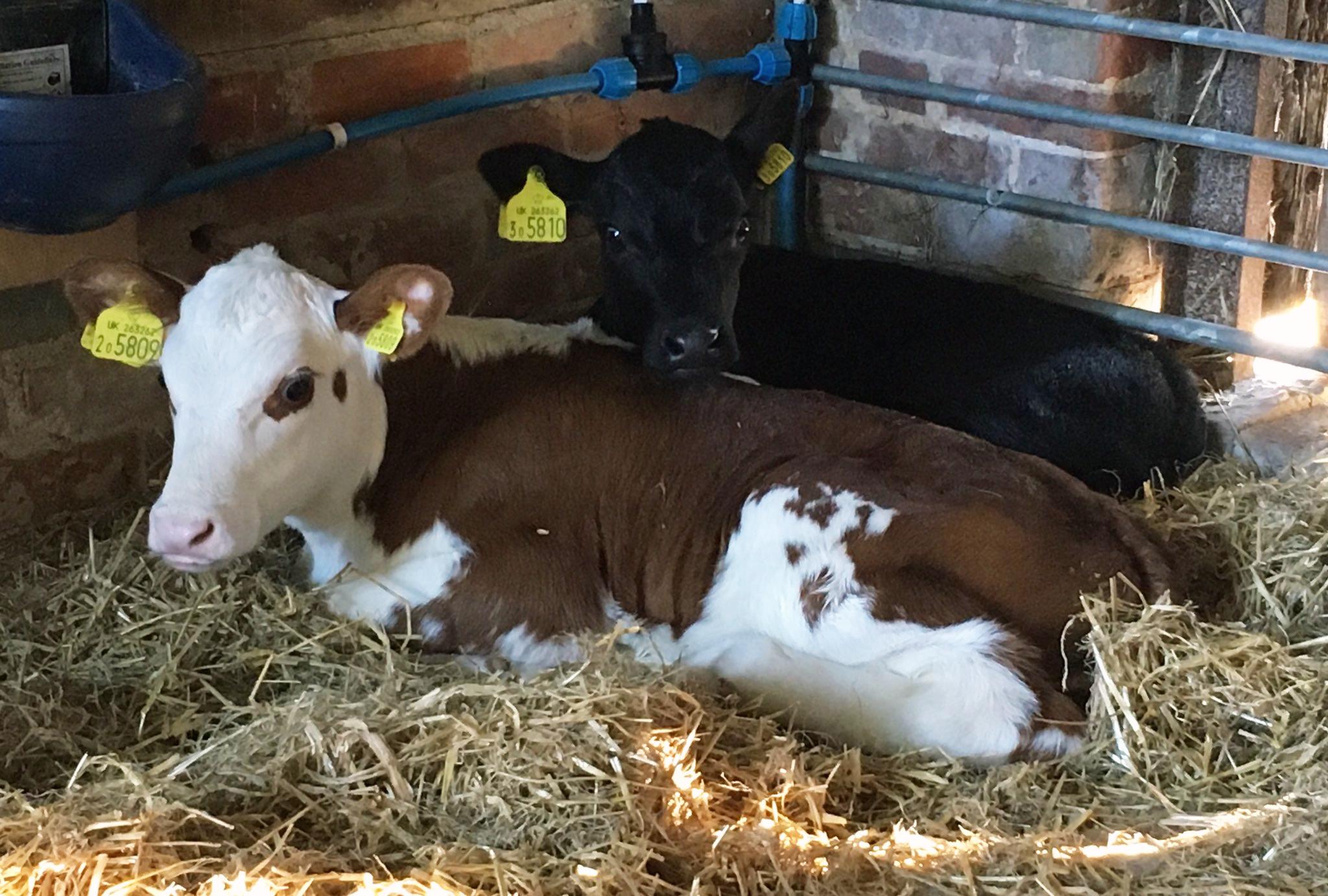 Bedales-calf